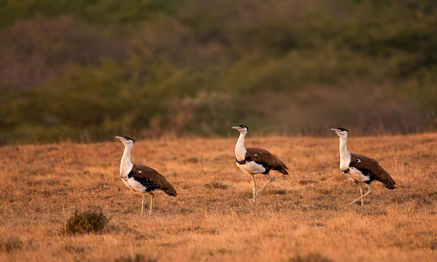 Once in The Running to Become India's National Bird is Close to Extinction !